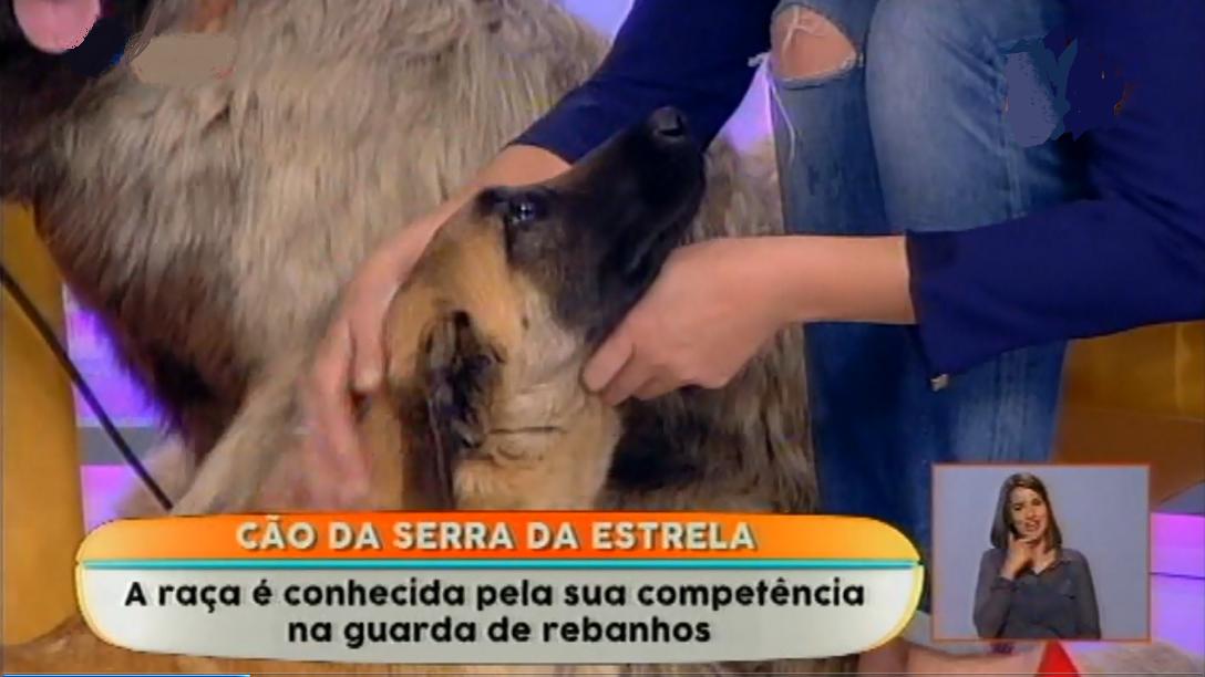 Cão da Serra da Estrela na TV