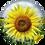 Thumbnail: Specmate Sunflower