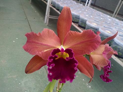 HTP 814 - Blc. Toshie Aoki 'Carmela' x L. tenebrosa