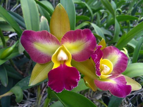 HTP 721 - Blc. Chinese Bronze x Blc. Nobile's Tropical Sunset
