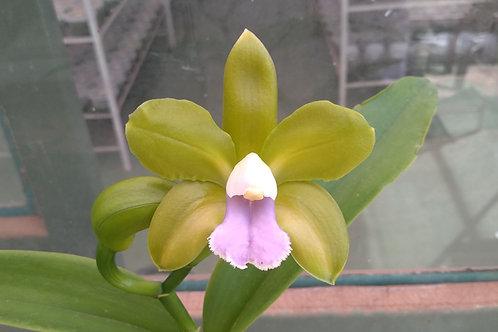 HTP 805 - C. bicolor 'TP' xxx X Pedrinho