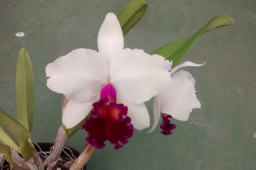 "HTP 683 - Lc. Ecstasy x(Blc. Enid Moore ""Belle"" x Lc. Nippon Livinza)"
