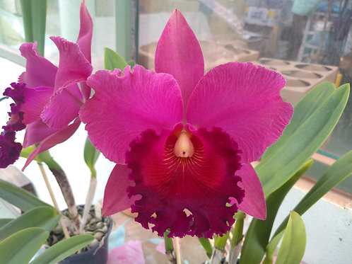 "HTP 643 - Blc. Chia Lin ""New City"" x Blc. Carbella Beauty""Song of Carary"""