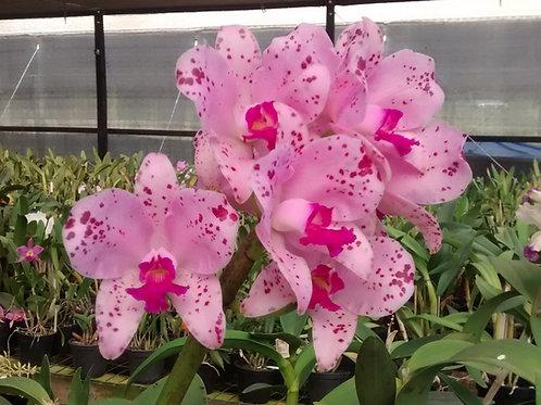 HTP 772 - C. amethystoglossa TP x Orchidglade