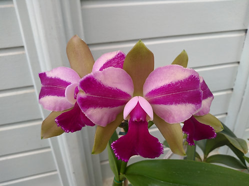 HTP 615 - Blc. Chinese Bronze x Blc. Hawaiian Satisfaction