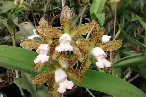 HTP 719 - C. leopoldii albescens x albescens Roberto