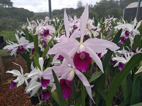 HTP 616 - L. purpurata roxo violeta x coerulea flâmea