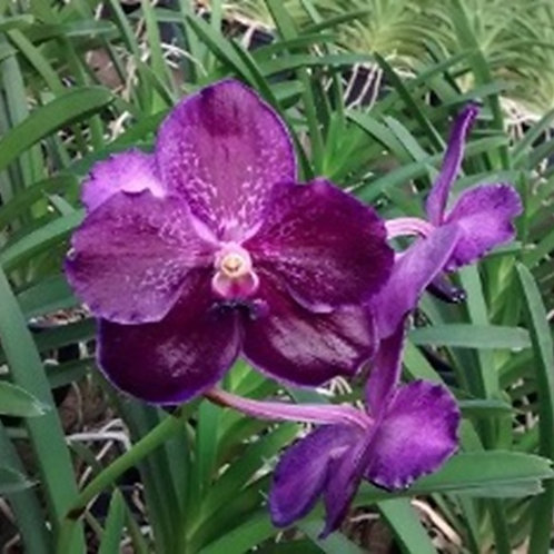 MTP 86 - V. Pure's Wax 'Blue Violet'