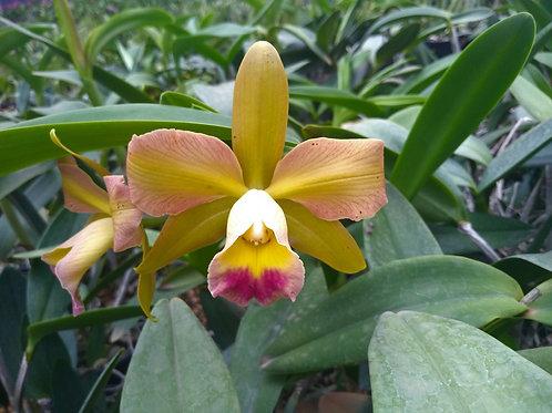 HTP 672 - C. leopoldii trilabalo x Blc. Waikiki Gold 'Lea'