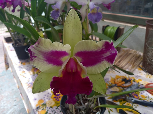 HTP 803 -(Blc. Nobile's Tropical Sunset x Chinese Bronze)  x Blc. Durigan escura