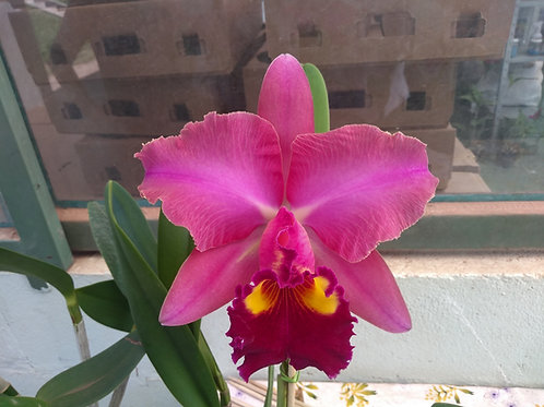 HTP 774 - Blc. Chunyeah #17 x Blc. Nobile's Tropical Sunset