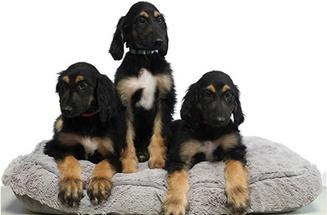 Ya es posible clonar perros