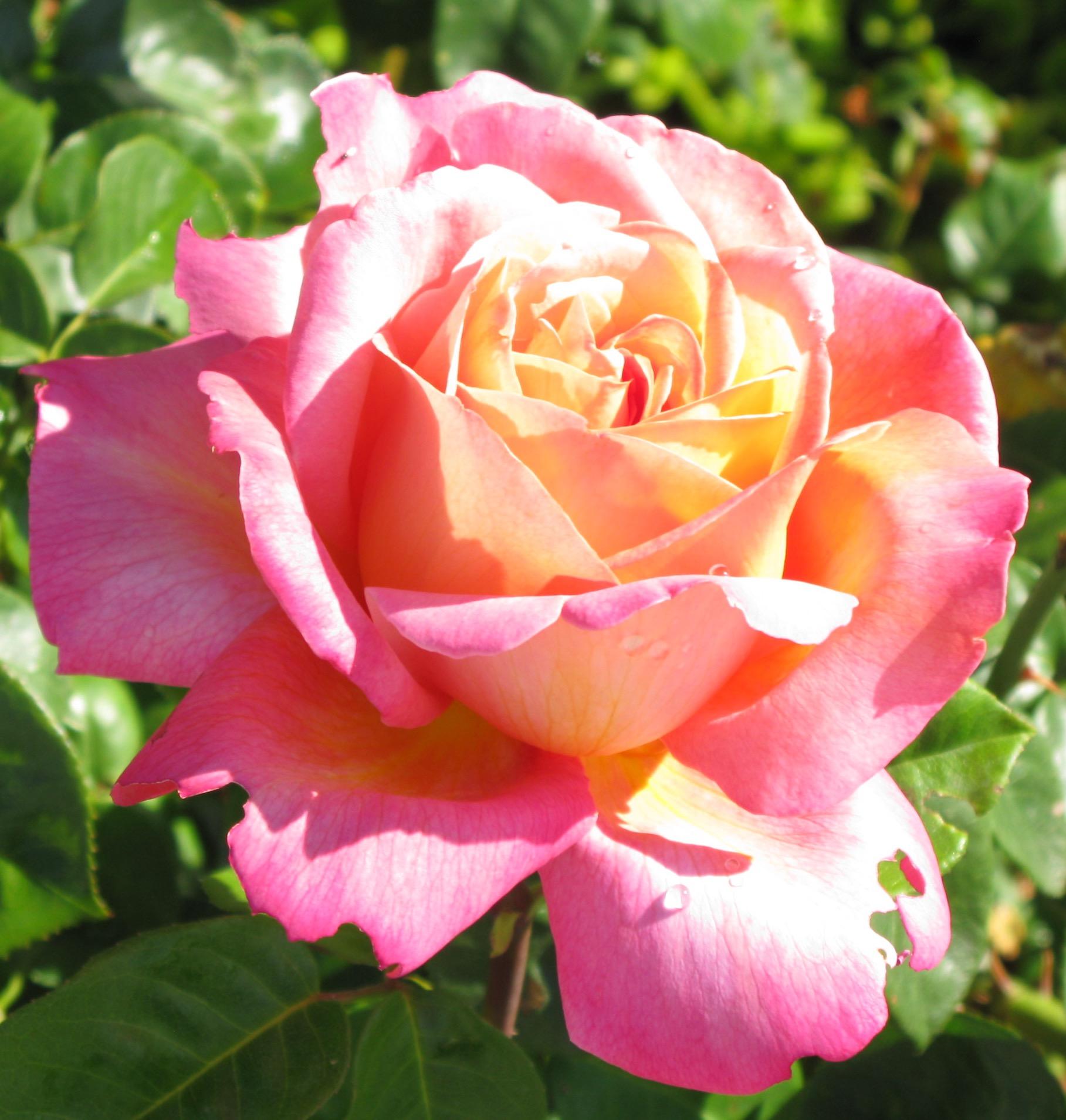 LO Rose California 2010.jpg