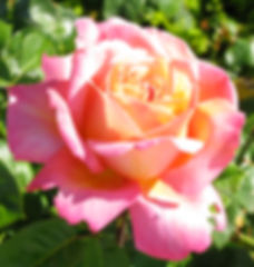 LO Rose California 2010.jpg