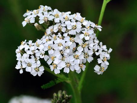 Plante médicinale : ACHILLEA MILLEFOLIUM (Achillée millefeuille)