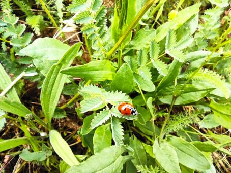 Plante médicinale et comestible : SANGUISORBA MINOR (Petite Pimprenelle)