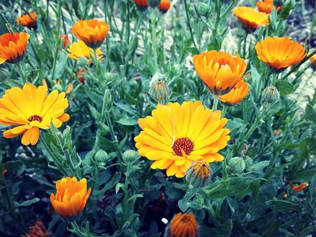 Plante médicinale : CALENDULA OFFICINALIS (Souci des jardins)