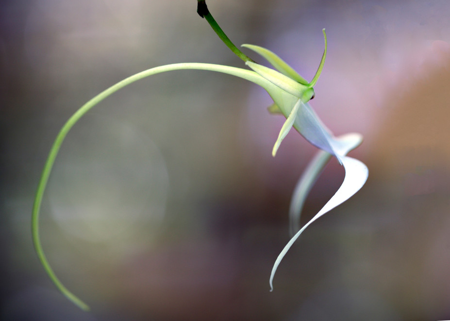 Ghost Orchid Profile II