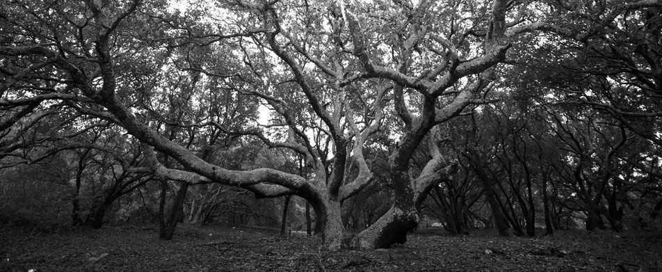Grand Old Oak