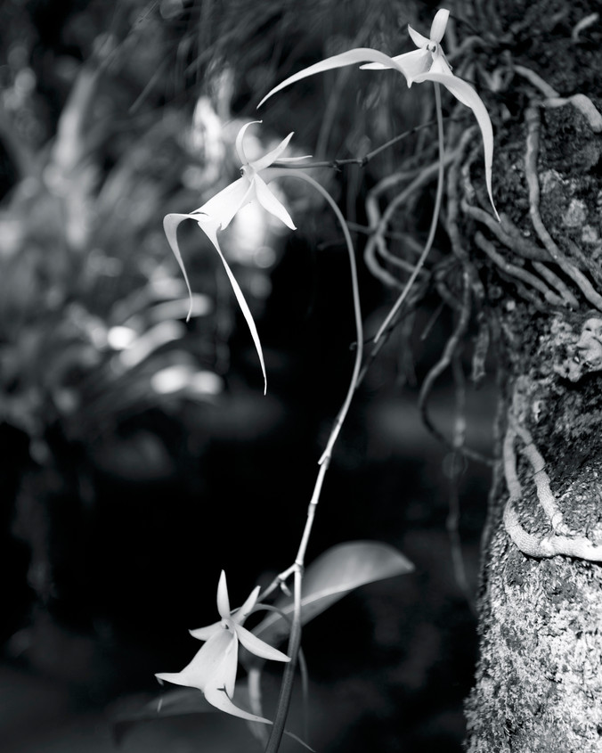 Ghost Orchid Three II