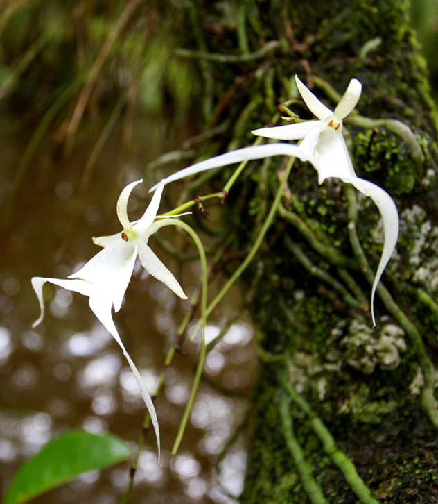 Ghost Orchid Dance