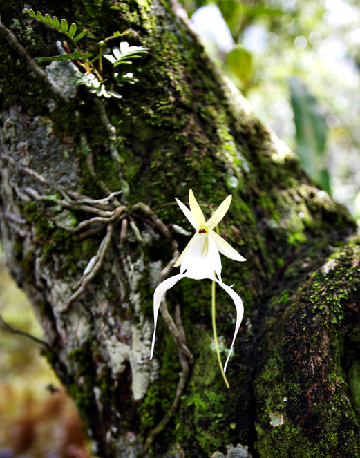 Ghost Orchid Plant
