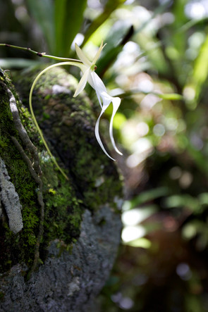 Ghost Orchid Profile