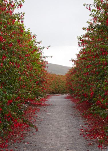 Fuschia Path