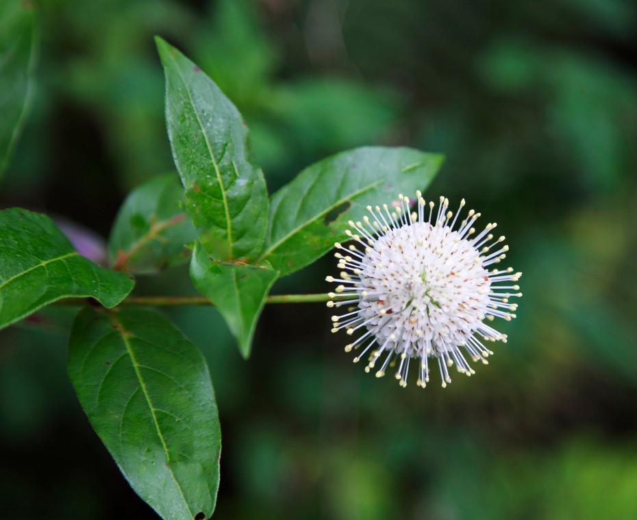 Everglades Buttonbrush