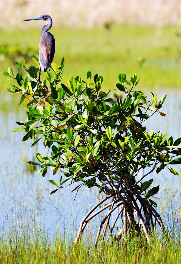 Glades Blue Heron
