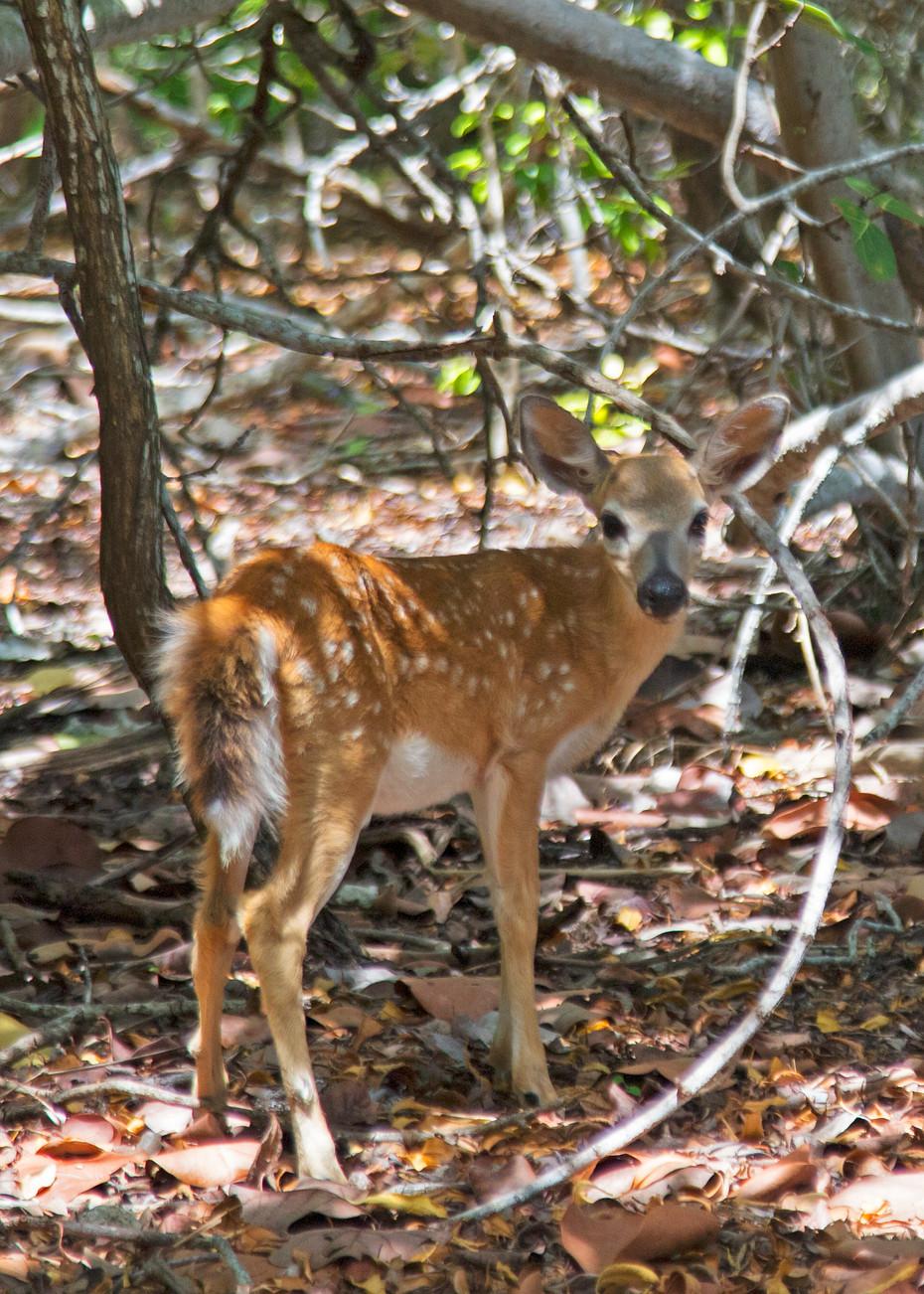 Fawn Key Deer