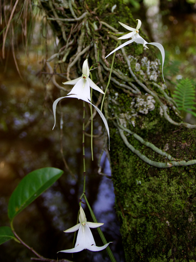 Ghost Orchid Three