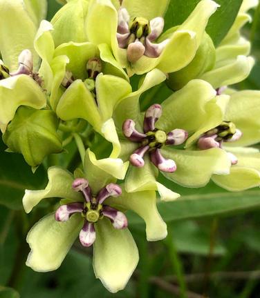 Asclepias asperula (Apocynaceae) flowers