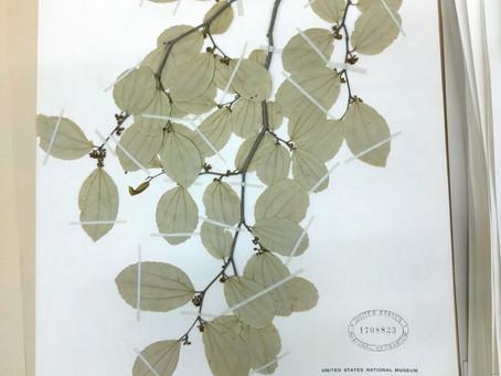 Imaging leaves on herbarium sheets