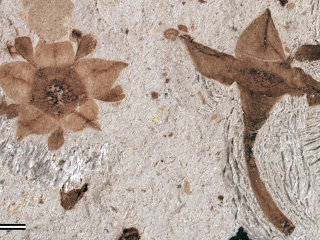 Fossil buckthorn flowers from Patagonia