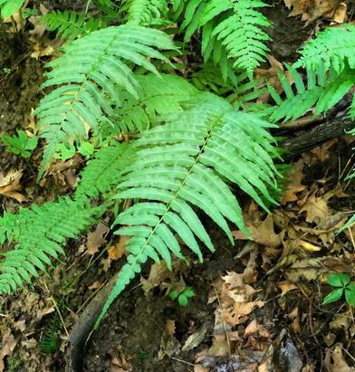 Homalosorus pycnocarpus (Aspleniaceae) fronds