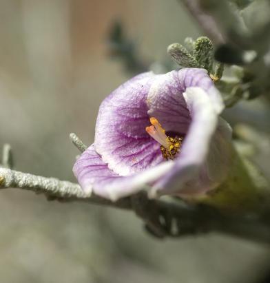 Malvaceae in Patagonia