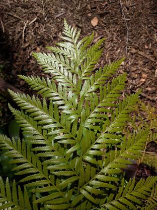Todea barbara (Osmundaceae)