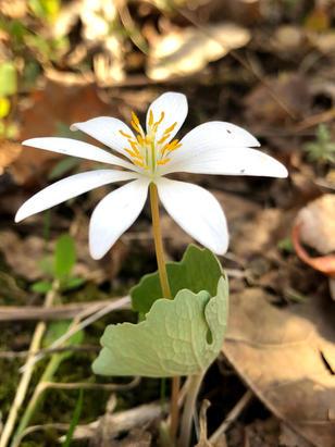 Sanguinaria (Papaveraceae) in bloom