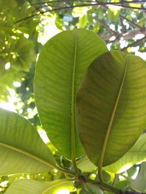 Mammea americana (Calophyllaceae)