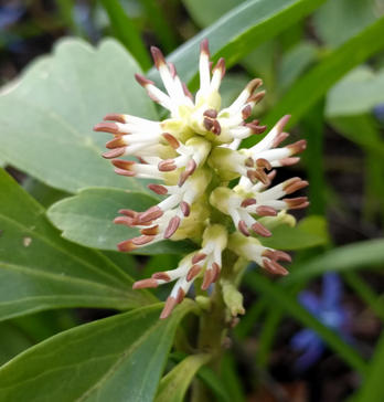 Pachysandra terminalis (Buxaceae) flowers