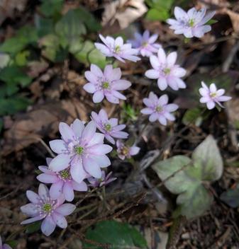 Hepatica nobilis (Ranunculaceae)