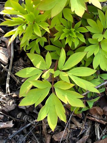 Dicentra spectabilis (Fumariaceae) foliage