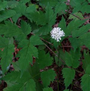 Acatea spicata (Ranunculaceae)