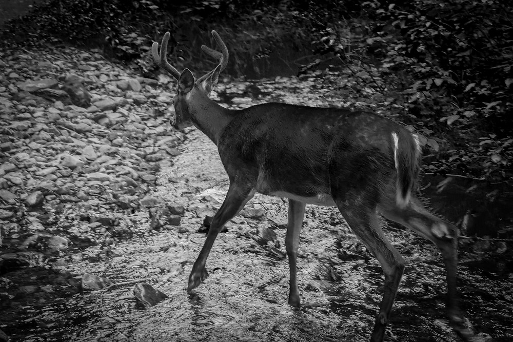 Flickr - Deer Crossing