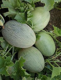 AS9067 Fruit setting.jpg