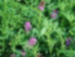 Alfalfa 3.jpg
