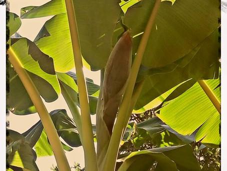 עץ הבננה