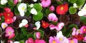 Begonia (Mixed Colours)