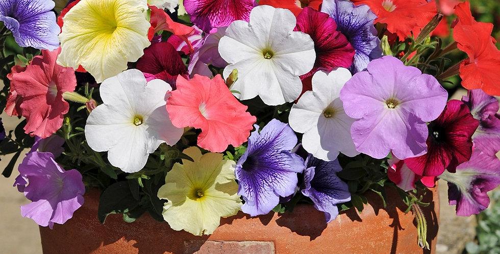 Petunia (Mixed Colours)